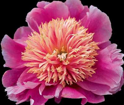 peonies bloom season